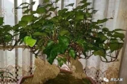废弃的植物 当盆景养竟有人想高价收购