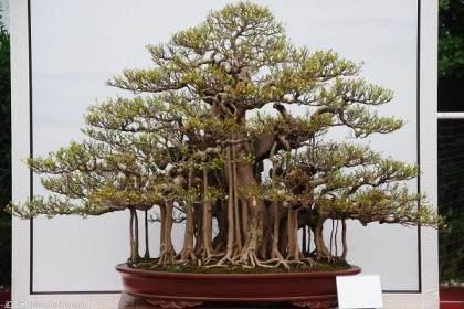 榕树盆景扦插繁殖可在春季4月最好 图片