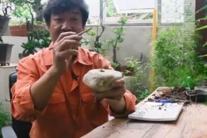 图解如何制作文竹盆景?