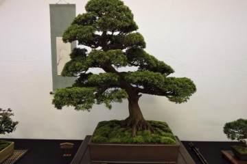大型盆景在在日本的兴趣下降