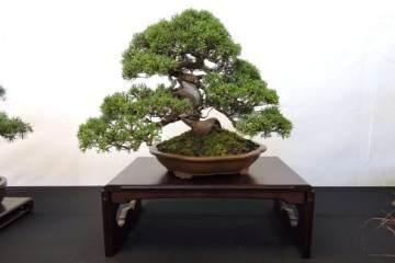 全日本小品盆景协会使用的文人类别