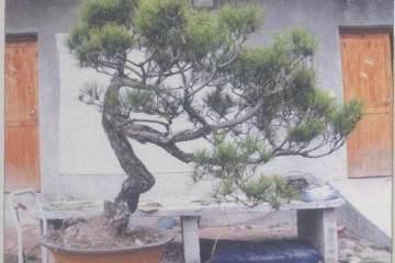 图解 赤松盆景怎么制作的9个过程