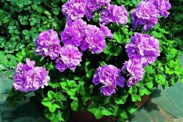 非常适合小阳台的5种小花盆栽 图片