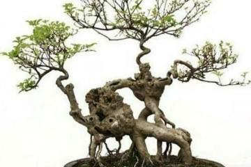 怎样用洗根来制作盆景露根的6种方法