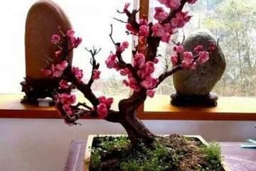 制作梅花盆景 用什么品种梅树最适合?