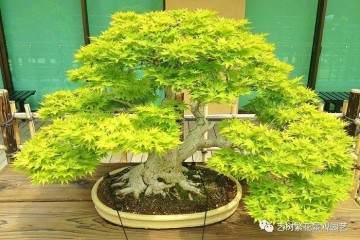枫树盆景在春季萌芽怎么施肥养护 图片