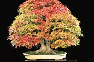 枫树盆景怎么塑形与盆土选用的3个方法