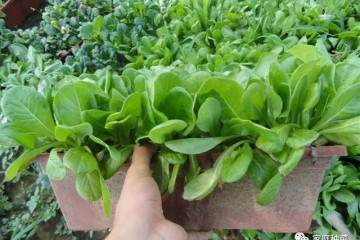 阳台种菜怎样施肥?盆栽蔬菜怎么施肥?