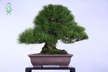 松树盆景总是落针怎么办?这是落针病