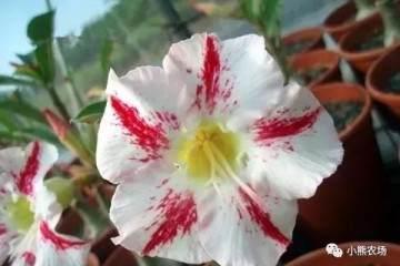 一年四季有花开 盆栽绿植新宠沙漠玫瑰