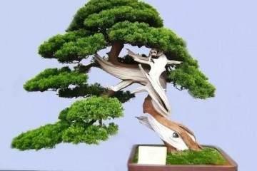 一棵橄榄树盆景做舍利雕刻的实例