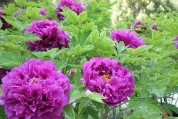 养殖牡丹花盆栽的注意事项 图片