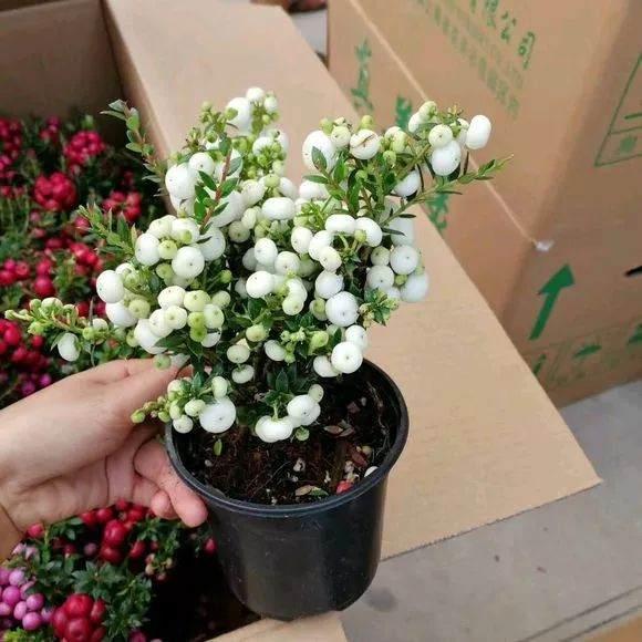 我们买回丽果木盆栽 刚开始养不用换土