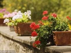广州花卉市场较好观叶盆花价格普遍上涨20%