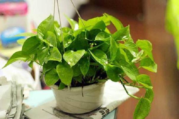 观花类花卉:盆径15一17厘米 价格25.0一50.0元/盆