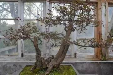 为什么野生的树桩盆景那么贵呢?