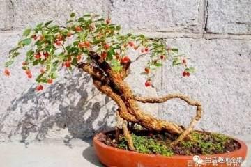 小树苗做老桩盆景 养了10年长成这样