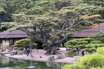 暴露根日本五针松盆景