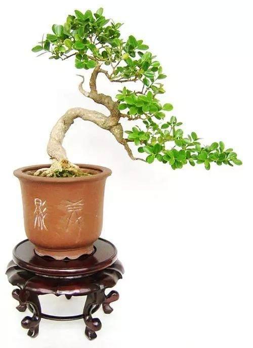黄杨盆景怎么养,有什么特点?