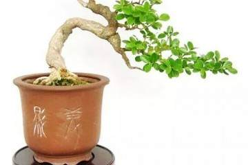 黄杨盆景怎么养殖 有什么特点
