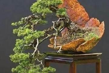 松树盆景的造型方法 一秒让你变大师