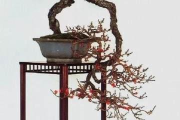 冬季盆景梅花 教你3个盆景技巧 一看就会
