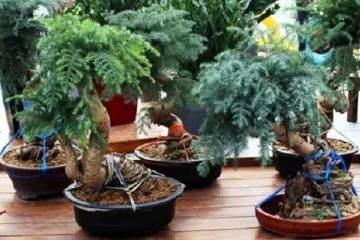 澳洲杉盆景的养殖方法和注意事项