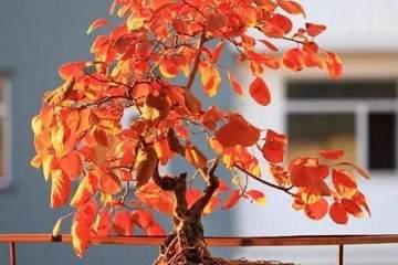 黄栌盆景在春天发芽时怎么修剪 5个养护方法