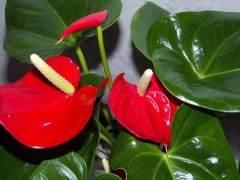 3月 红掌主流盆花销售平稳 价格小幅下滑