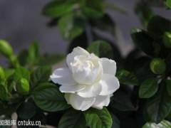 4月 冠幅15~30厘米的栀子花 市场售价10~20元/盆