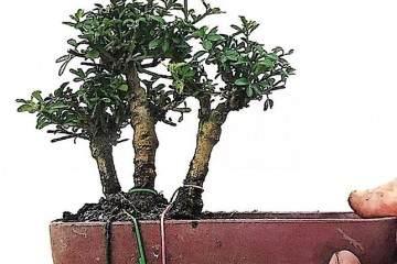 圖解叢林式微型盆景的制作案例