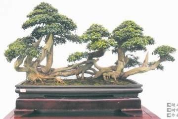 第十六届中州盆景大赛作品展在鄢陵成功举办