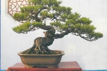 盆景主根生长和侧根生长的相关性