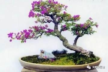三角梅盆景常用的促花技术