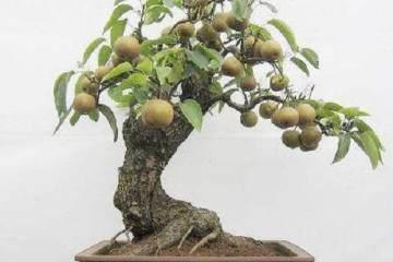 梨树盆景取材与培育