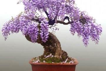 分享给紫藤盆景的上盆造型技巧
