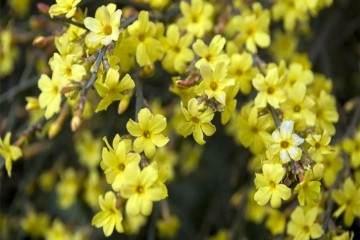 如何做好迎春花盆景的浇水与施肥?