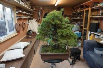 访问日本著名的盆景收藏家 -- 岩崎先生