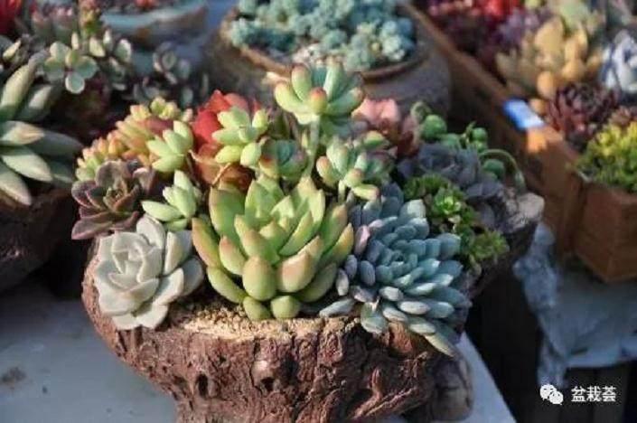 多肉植物这么养才能颜色亮丽 图片
