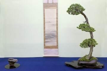 首相奖颁发给由木村先生创作的日本黑松盆景