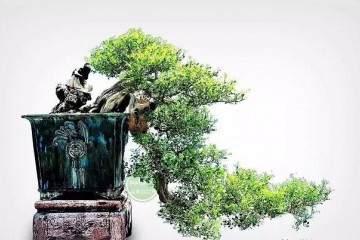 养护九里香盆景 请注意这五点
