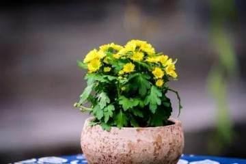小菊花上盆景种与造型设计