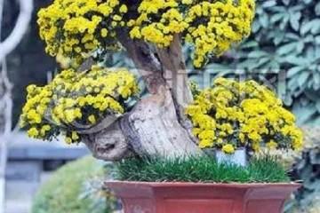 小菊花盆景取材与培育
