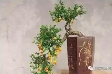 金雀盆景怎么养护 用发芽耐修剪的特点