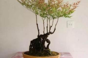 南天竹盆景的养护技巧