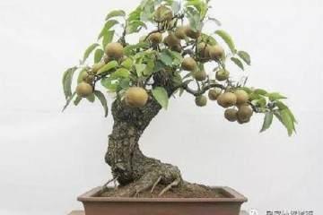 梨树盆景的栽植一般以春季萌芽前最好