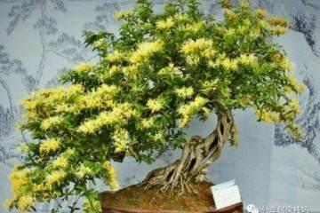 金银花盆景制作材料与造型的4个方法