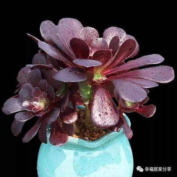 多肉植物里面 欧紫是法师系列中的佼佼者