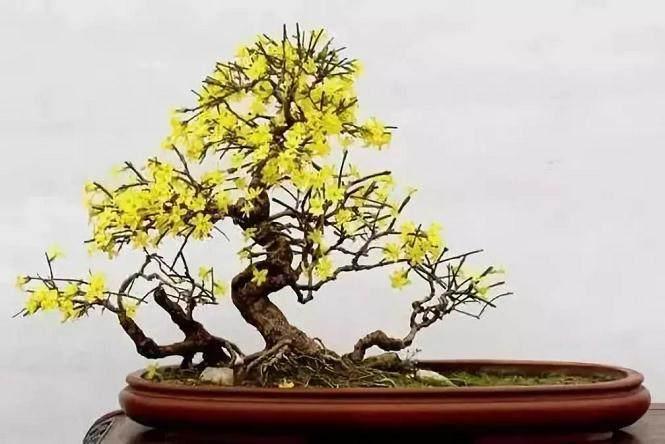 迎春花盆景的造型以及修剪注意事项