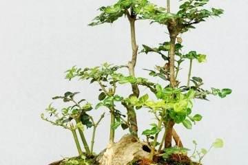 虎刺盆景移栽时怎样保证须根系的完整